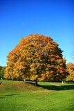 Autumn tree Royalty Free Stock Photo
