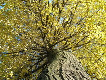 Autumn tree. Details of colorful autumn leaves in tree Stock Photography