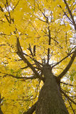 Autumn tree. One autumn a tree with yellow leaves Stock Photo