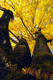Autumn tree. Maple with yellow autumn leaves Stock Photography