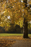 Autumn Tree. An autumn tree. Afternoon sunlight, no flash stock photo