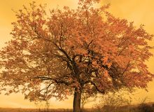 Autumn Tree. Tree with orange leaves in fall Stock Image
