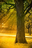 Autumn tree. With sunny rays of light Stock Photos