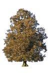Autumn tree. Isolated on white Stock Photos