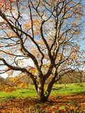 Autumn Tree. A lone Autumn tree with bare branches Royalty Free Stock Photo