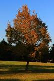 Autumn Tree. Classic Autumn Tree at Sunset Stock Images
