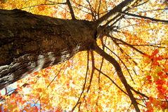 Autumn Tree. Looking up into the beautiful colors of a maple tree in full autumn foliage Stock Photo