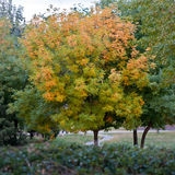 An Autumn tree Royalty Free Stock Image