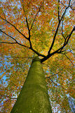 Autumn Tree. A tree in autumn colors Royalty Free Stock Photo