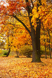 Autumn tree. In the park Royalty Free Stock Image