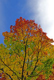 Autumn tree Royalty Free Stock Image