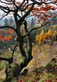 Autumn tree. Twisted Beech tree in autumn Stock Photography