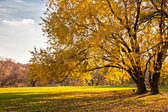 Autumn tree. And the sun's rays Royalty Free Stock Photography