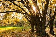 Autumn tree. And the sun's rays Stock Image