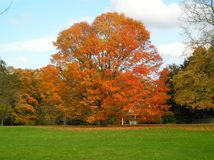 Autumn Tree. Large tree with orange foliage. Shot in October in Pomfret, Connecticut, USA Royalty Free Stock Photography