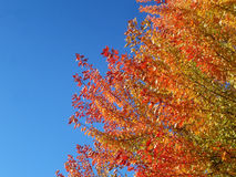 Autumn Tree. Branches of an autumn tree against a blue sky Royalty Free Stock Photography