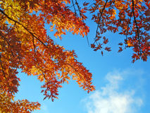 Autumn Tree. Branches of an autumn tree against a blue sky, seen from below Stock Photo