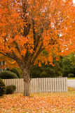 Autumn Tree. Orange autumn tree by a white fence Stock Photography