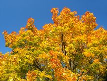 Autumn Tree. Autumn Coloured Leaves with Blue Sky in Background Royalty Free Stock Photo