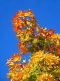 Autumn Tree. Autumn Coloured Leaves with Blue Sky in Background Royalty Free Stock Photography