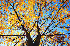 Autumn Tree. During fall, blue sky, yellow leaves Royalty Free Stock Photography
