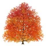 Autumn tree. Isolated on a white background Stock Photos