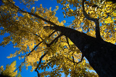 Autumn Tree. With bright yellow leaves viewed from below. Calgary, Alberta, Canada Stock Photography