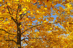 Autumn tree. Tree in autumn with yellow leaves Royalty Free Stock Photo