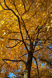 Autumn tree. With golden leaves Stock Images