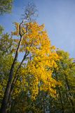 Autumn tree. In a wood Royalty Free Stock Photo