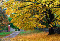 Autumn Tree. Scenic view of large tree in autumn with fallen leaves in driveway Royalty Free Stock Images