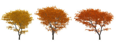Autumn tree. A set of illustrations - trees with yellow leaf Royalty Free Stock Photography