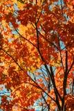 Autumn Tree. Vibrant orange autumn maple tree Royalty Free Stock Image