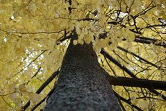Autumn tree. With golden leaves Royalty Free Stock Images