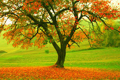Autumn tree. Pic of an autumn tree Royalty Free Stock Photography