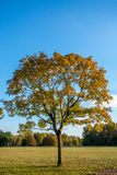 Autumn tree in the afternoon sun. In the Marienbergpark in Nuremberg, Germany Stock Image