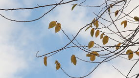 Autumn tree against the background of floating cloud stock video footage