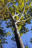 Autumn tree against the blue sky Stock Photos
