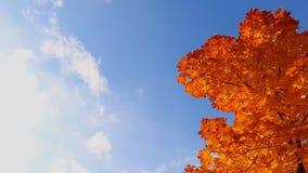 Autumn tree against bright blue sky stock video