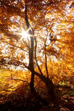 Autumn tree against sunset Royalty Free Stock Photo