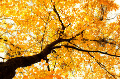 Autumn tree background Royalty Free Stock Photo
