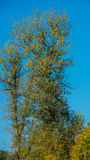 Autumn tree on a background of blue sky Royalty Free Stock Photos