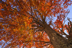 Autumn tree on a background of  sky Royalty Free Stock Photography