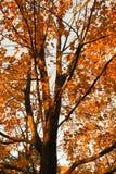 Autumn Tree. Beautiful Autumn tree with bright orange leaves Royalty Free Stock Photography