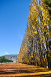 Autumn tree with beautiful nature in New Zealand Royalty Free Stock Images