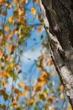 Autumn, Tree, Birch, Fall Foliage Royalty Free Stock Photo