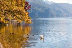 Autumn tree and birds on the shore of Lugano lake, Switzerland Royalty Free Stock Photos