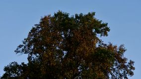 Autumn tree blowing in wind in front of blue sky. Yellow and orange leaves on deciduous tree in British countryside stock video footage