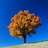 Autumn tree and blue sky Stock Photo