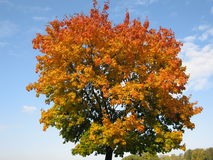 Autumn tree on blue sky. Red maple tree in autumn on blue sky Stock Image